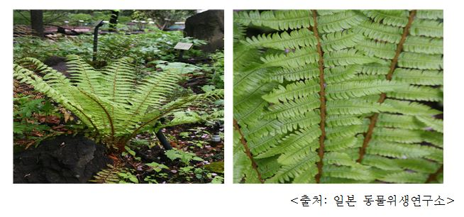 관중 Japanese male fern, crown wood fern (Dryopteris crassirhizoma Nakai)