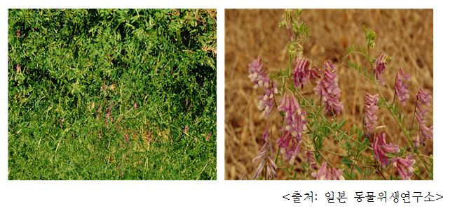 헤어리베치 Hairy vetch (Vivia villosa Roth)